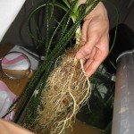 Crinum plant extraction...